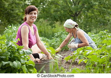 women working in vegetable garden - Two women working in her...