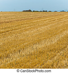 acres after harvest are looking golden in the sun with blue...