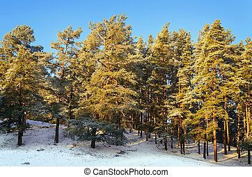 Winter Forest - Pine Forest On A Sunny Winter Day