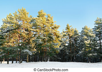 Pine Forest On A Sunny Winter Day