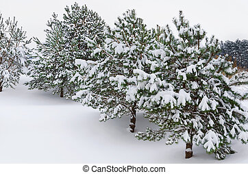 Fir Trees - Firs Covered With Deep Snow In Winter