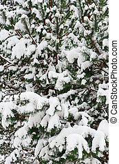 Fir Branches - Winter Fir Branches Covered With Deep Snow