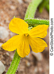 Cucumber flower - The beautiful yellow flower is open just...