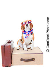 travel - beagle dog with suit cases as concept for travel on...