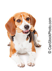 dog with biscuit - beagle dog with bone shaped dog biscuit