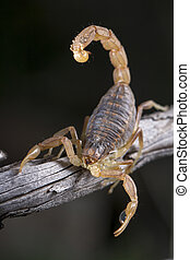 buthus scorpion (scorpio occitanus) - Close up view of a...