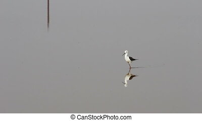 shorebird walking on water