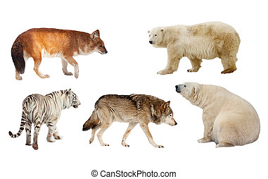 Carnivora mammal Isolated over white - Set of Carnivora...