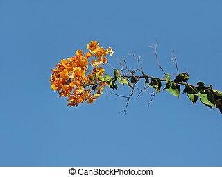 florescer, bougainvillea, contra, azul, céu