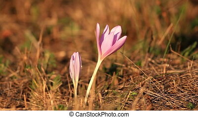 Wild flowers - Nice flower in the autumn field (Colchicum...