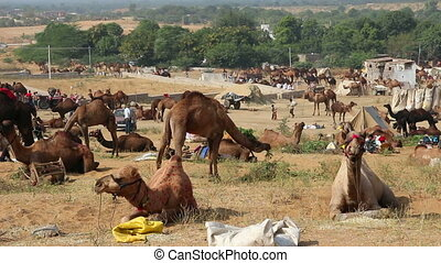 Pushkar Camel Fair - camels during festival