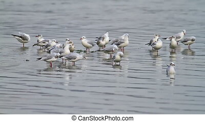 Seagulls in the shallow