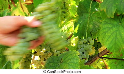 Harvest - Autumn grape harvest