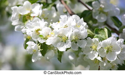 Blossoming apple-tree