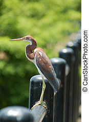 Heron on a fence.