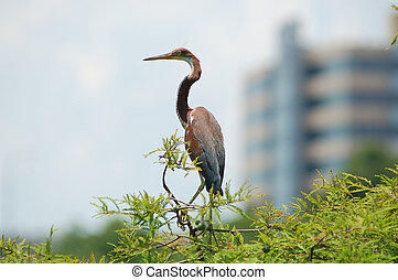 Heron with building.