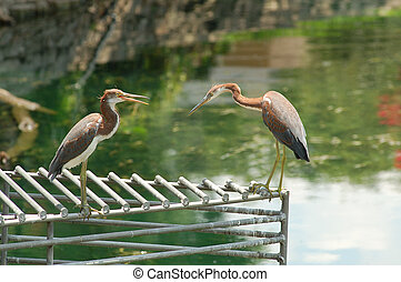 Herons on a grate - Two Herons on a grate at Lake Lucerne in...