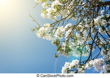 blooming apple tree branch in spring over blue sky