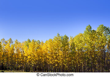 Autumn early fall forest with yellow poplar trees in a row