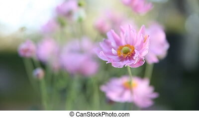 Japanese anemone - pale pink flowers in a slight breeze