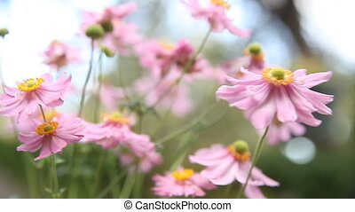 Japanese anemones in a breeze - group of pink flowers in...