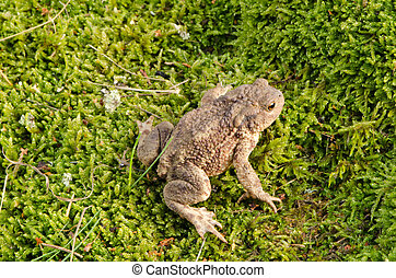 蟾蜍,  amphibia, 苔蘚, 坐