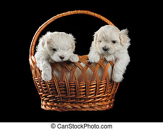 lap-dog - maltese puppy isolated on the black background
