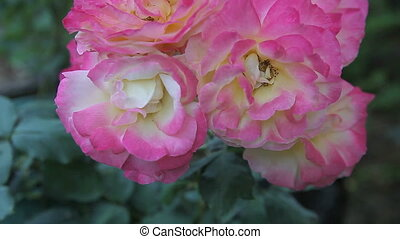 roses in late summer - a cluster of full-blown, pink-edged...