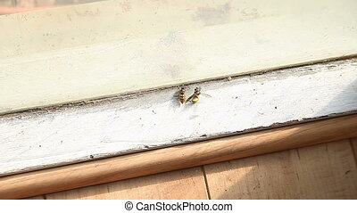 two yellow jackets - a yellow jacket wasp examines its dead...