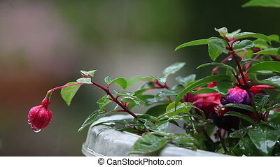 fuchsia in the rain - a potted fuchsia plant during a rain...