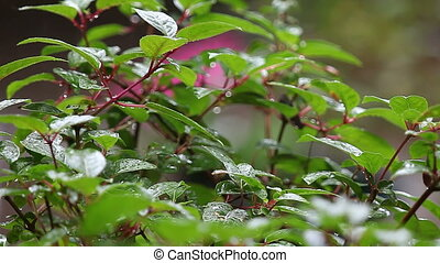 fuchsia leaves in rain