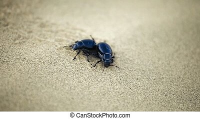 Scarab beetles in the Indian desert - Scarab beetles...