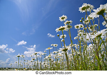 summer landscape - camomiles on a summer meadow