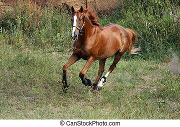 Running horse on a grass