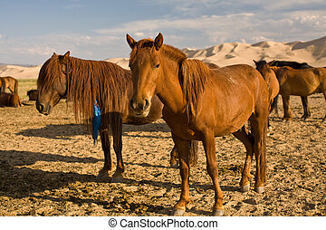 Close up of horses in Gobi Desert, Mongolia - Close up of a...