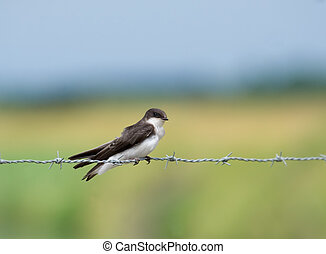 Bank Swallow - Bank swallow riparia riparia perched on a...
