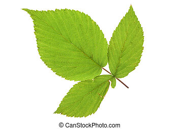 blackberry leaf - leaf blackberry isolated on a white