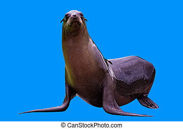 A sea lion isolated - A female sea lion isolated on blue