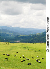 Salta - Cattle grazing on a green field near Salta,...