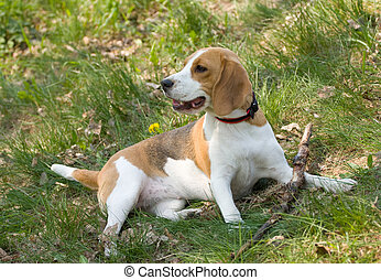 Beagle dog - portrait of beautiful Beagle dog