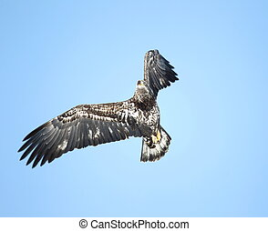 Immature Bald Eagle in flight against a blue sky