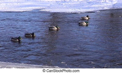 wintering ducks Anas platyrynchos on river water in...