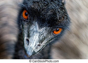 Emu watching - Head of moving Australian Emu (Dromaius...