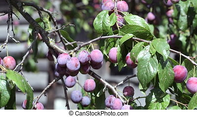 Tree with ripe plums in a big garden