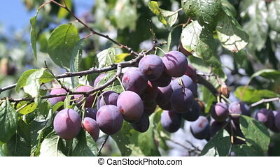 Ripe violet plums on a branch shake on a wind