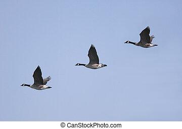 Canada Goose (Branta canadensis) - Canada Geese (Branta...
