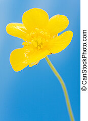 yellow buttercup on backgrounds blue sky