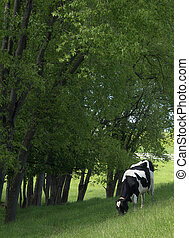 Grazing Cow - A Holstein dairy cow grazing in the shade of...