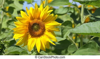 Sunflowers shake on a wind in sunny weather