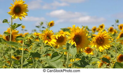Field with blossoming sunflowers against the blue sky